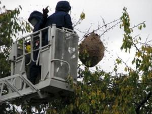 Nid de frelons asiatiques en France