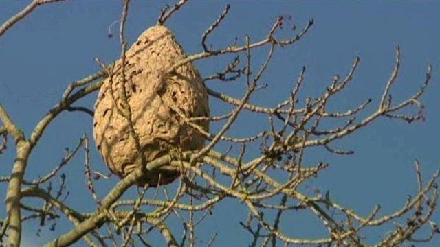 plusieurs nids de frelons asiatiques dans la dr me. Black Bedroom Furniture Sets. Home Design Ideas